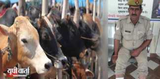 Cow smuggling